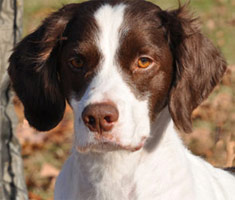 Danny Champion and Grand Champion Bloodline Brittany Spaniel Puppies for Sale