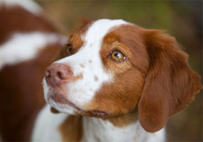 Tiki Champion and Grand Champion Bloodline Brittany Spaniel Puppies for Sale